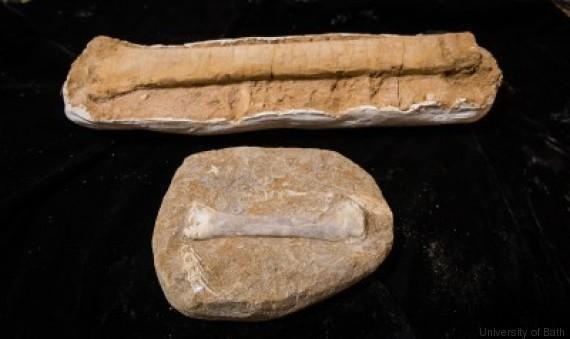 cubitus pterosaures fossiles