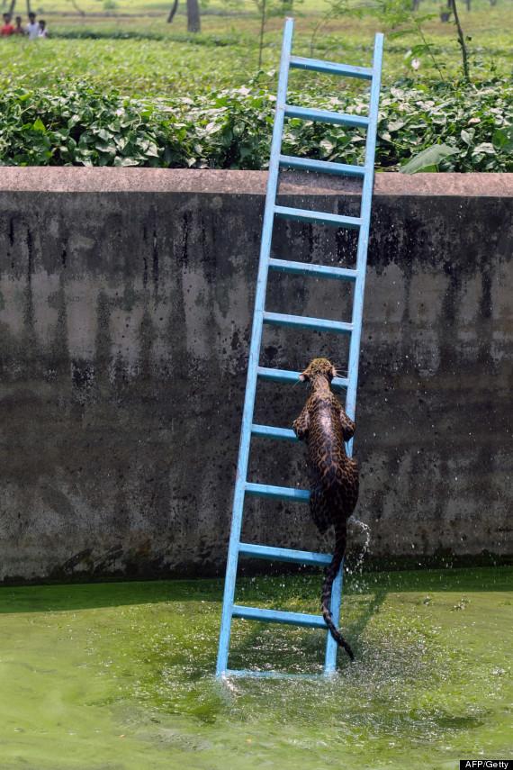 leopard ladder