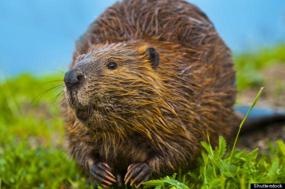 beavers attack dog
