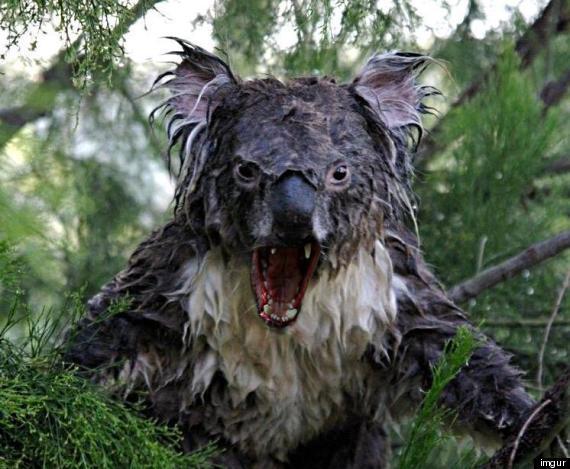 wet koala photoshop