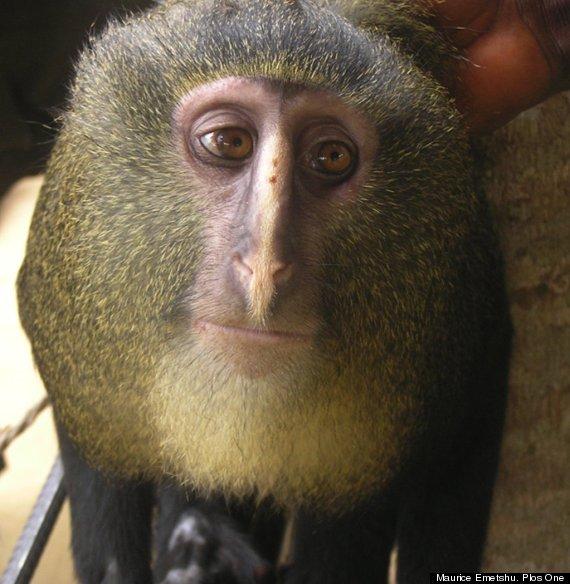 nuevo mono africano