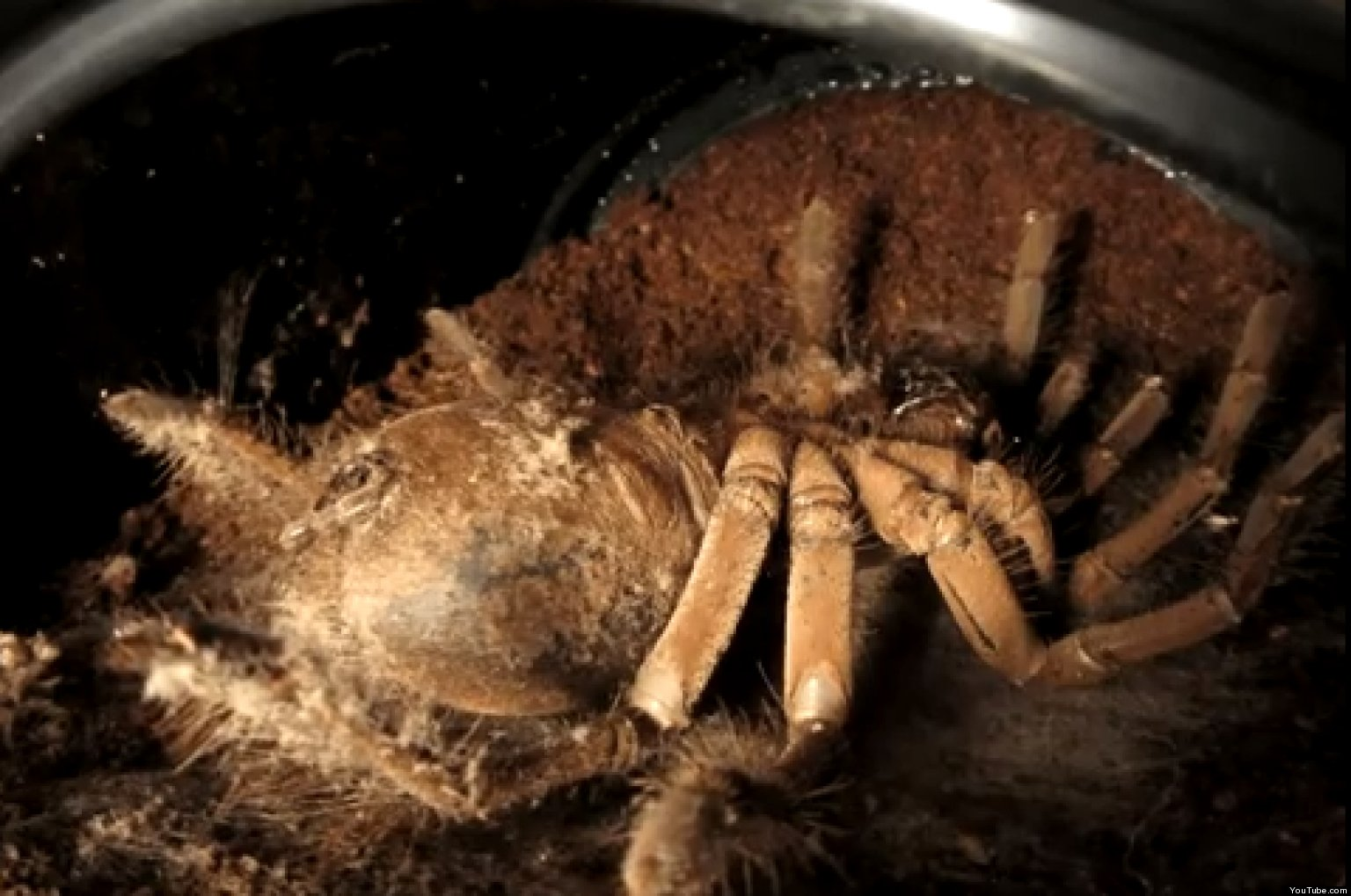 Giant Spider Molts Goliath Bird Eating Tarantula Worlds