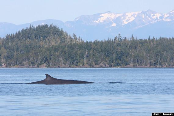 bc fin whale