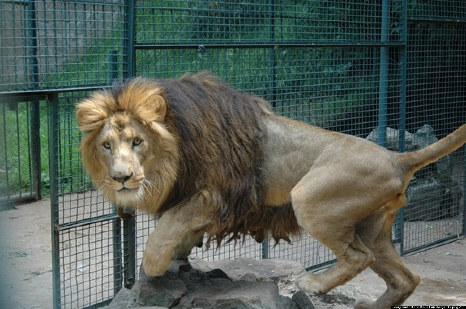 The Descendants Of Haile Selassie's Lions In Ethiopia Are ...