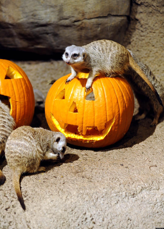 Brookfield Zoo Halloween Full Of Treats For Animals