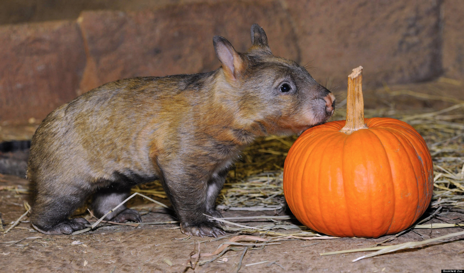 Baby Wombat Brookfield Zoo S Latest Adorable Addition