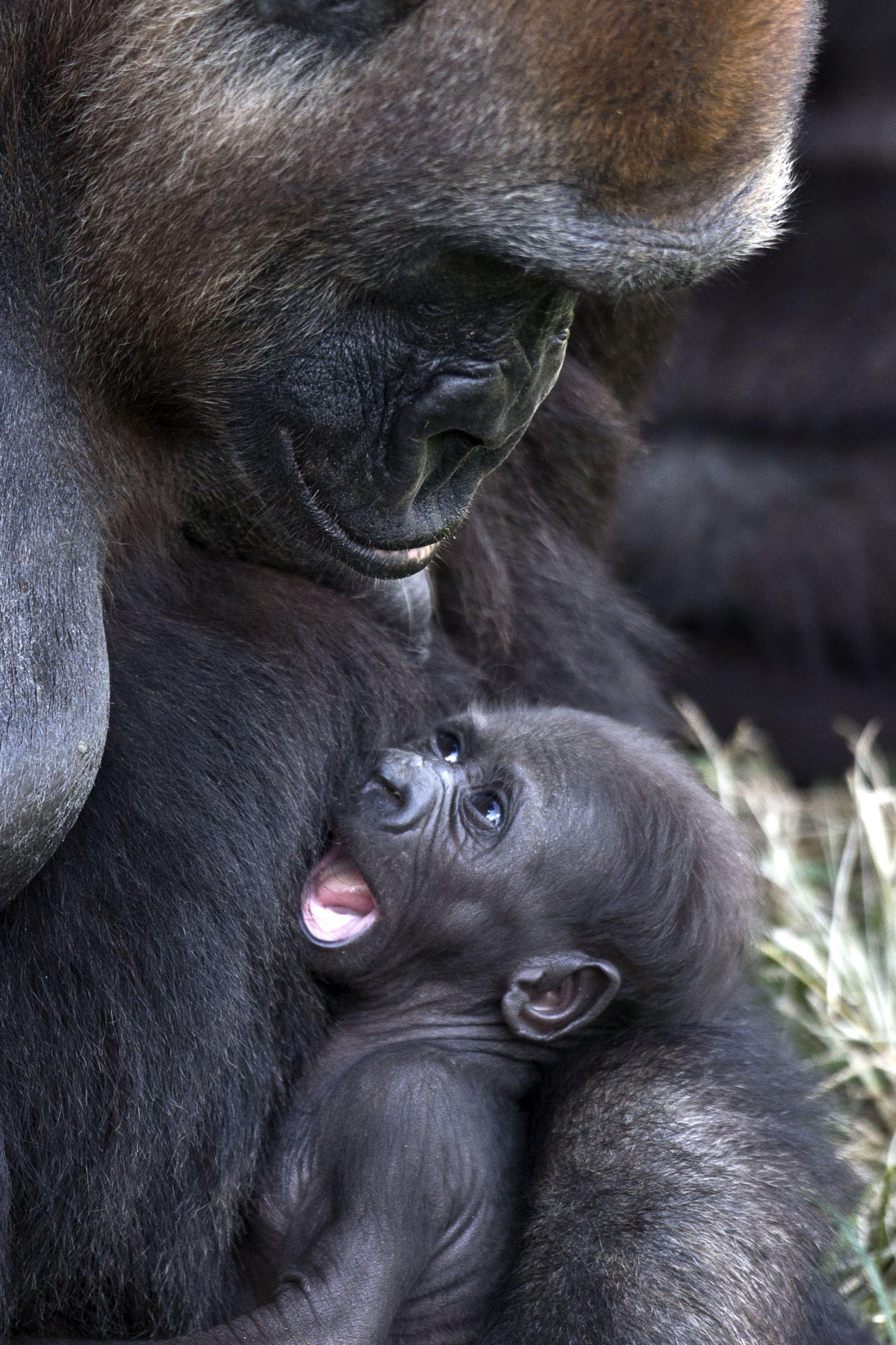 amelia gorille