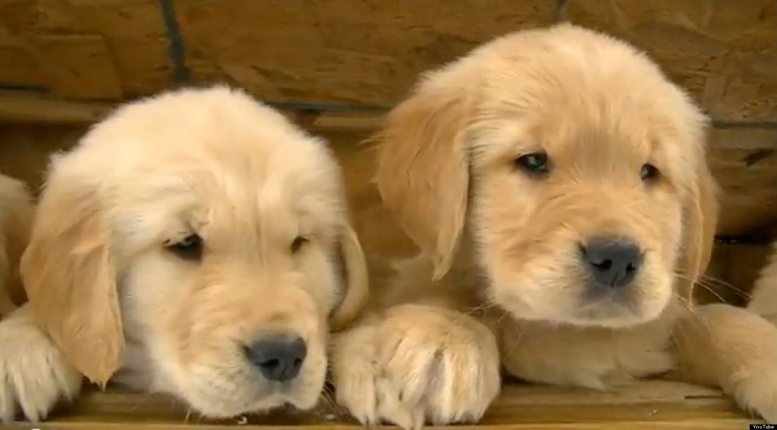 Golden Retriever Puppies Play In The Snow Cute Ridiculous Animal