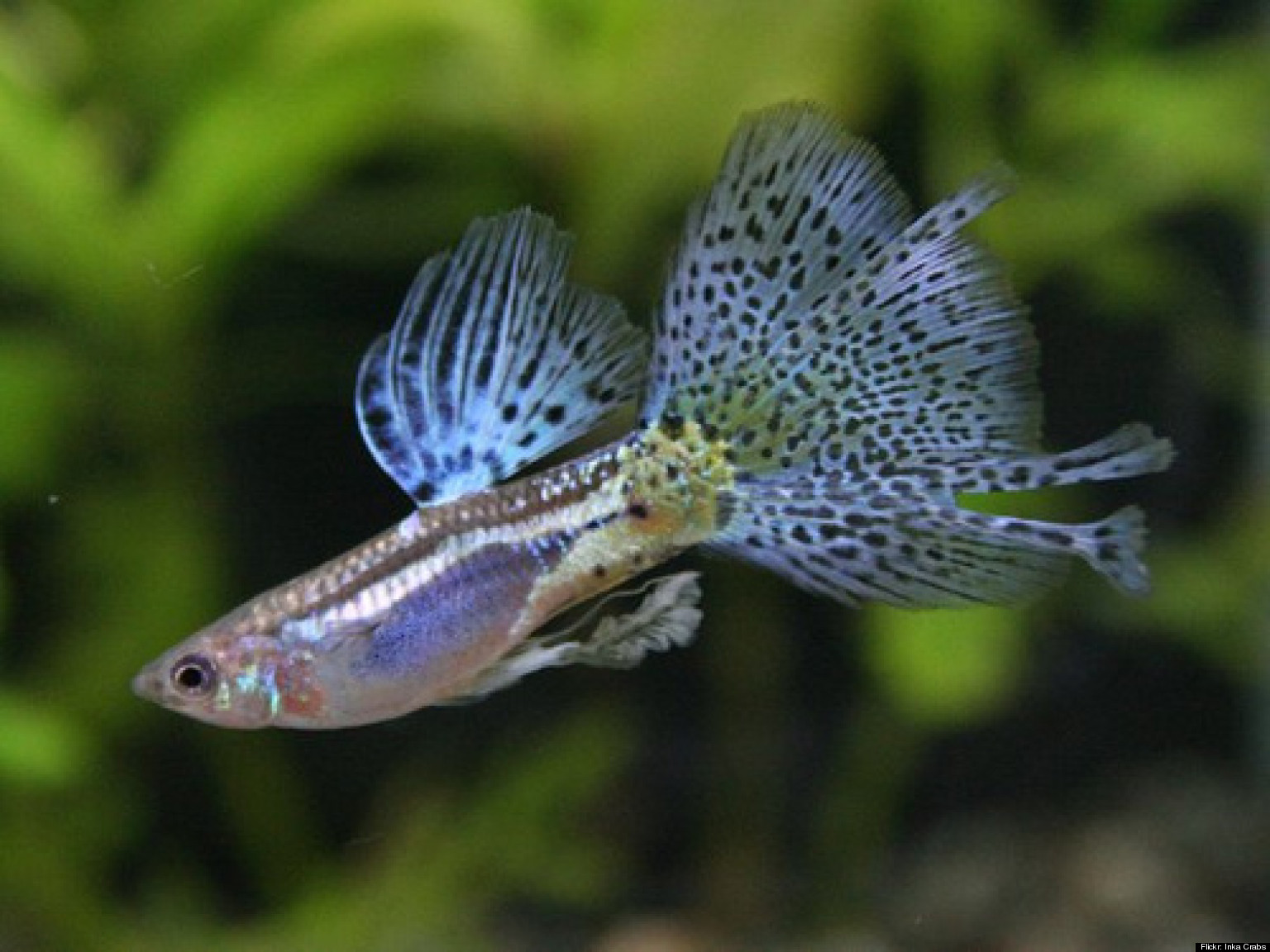 brain size study involving guppies suggests high intelligence comes