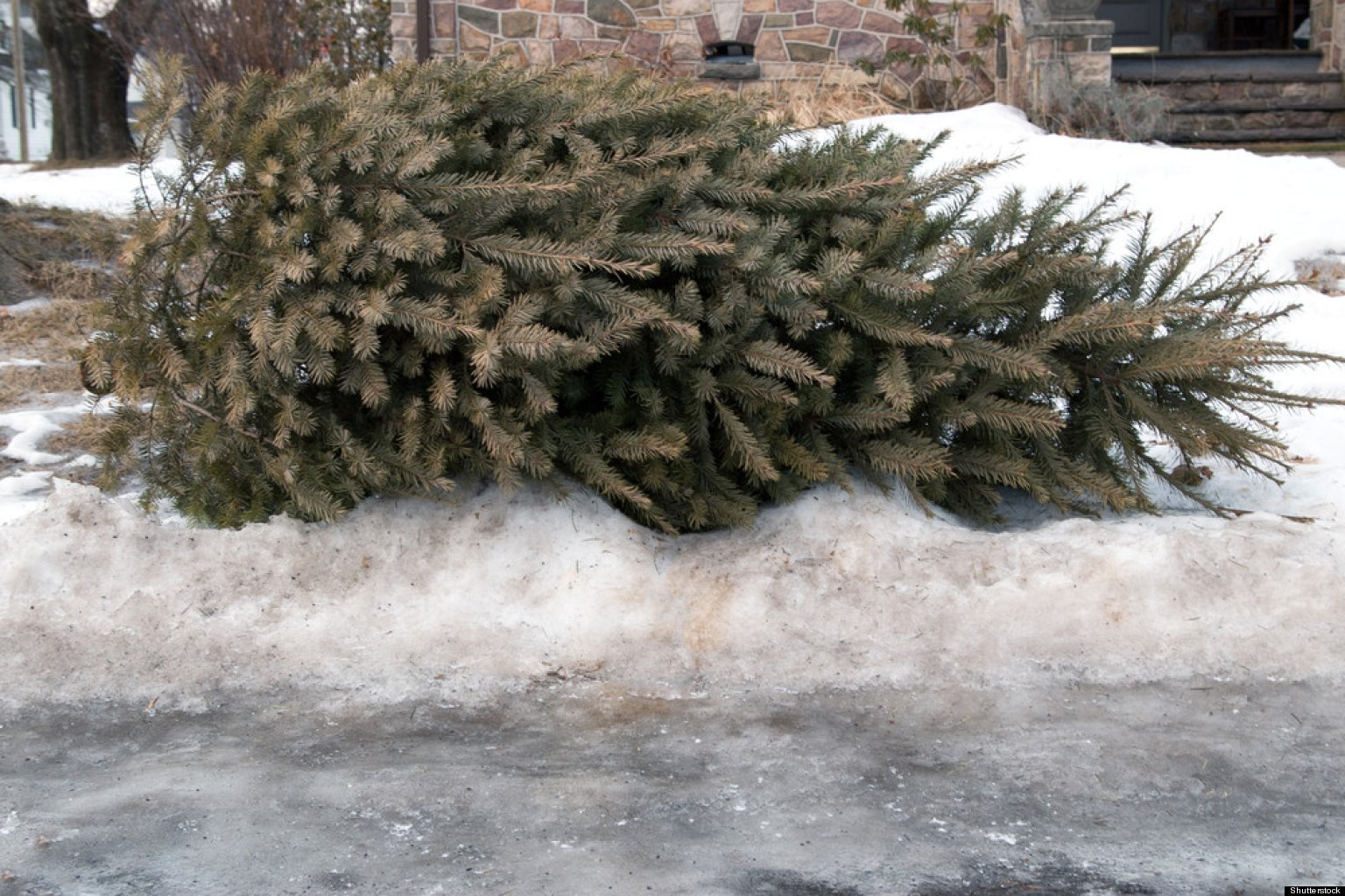 people who leave old christmas trees on sidewalk now forced to eat them huffpost - Mountain King Christmas Trees