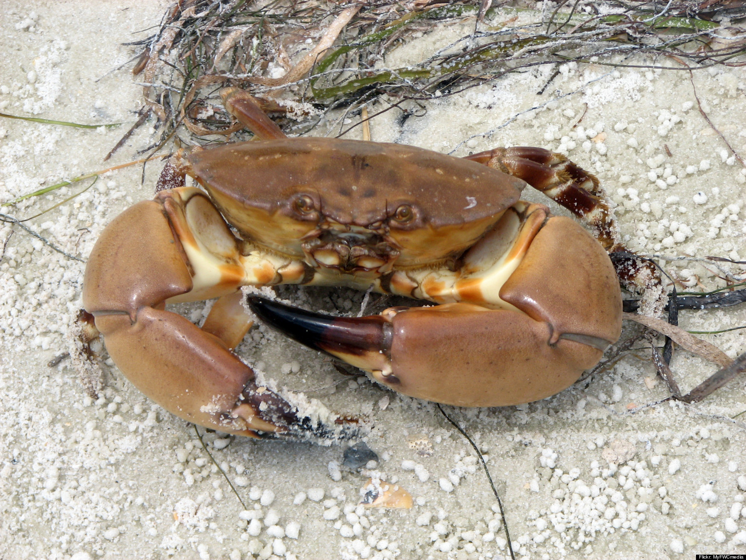 crustacean rights are stone crabs lucky really huffpost