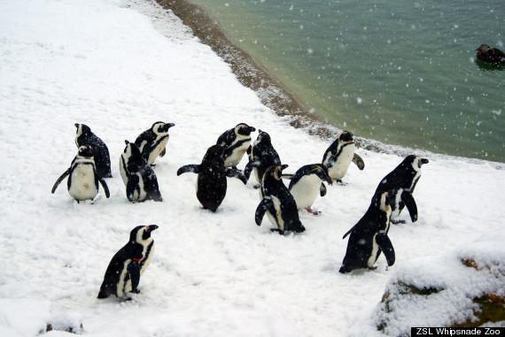 penguins in snow