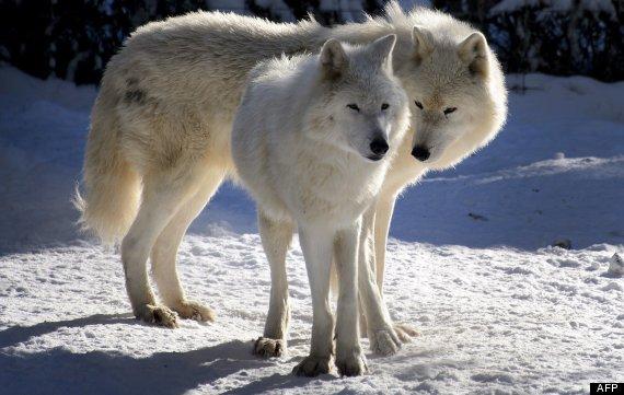 lobos del artíco