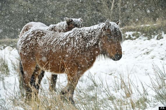 dartmoor pony salt