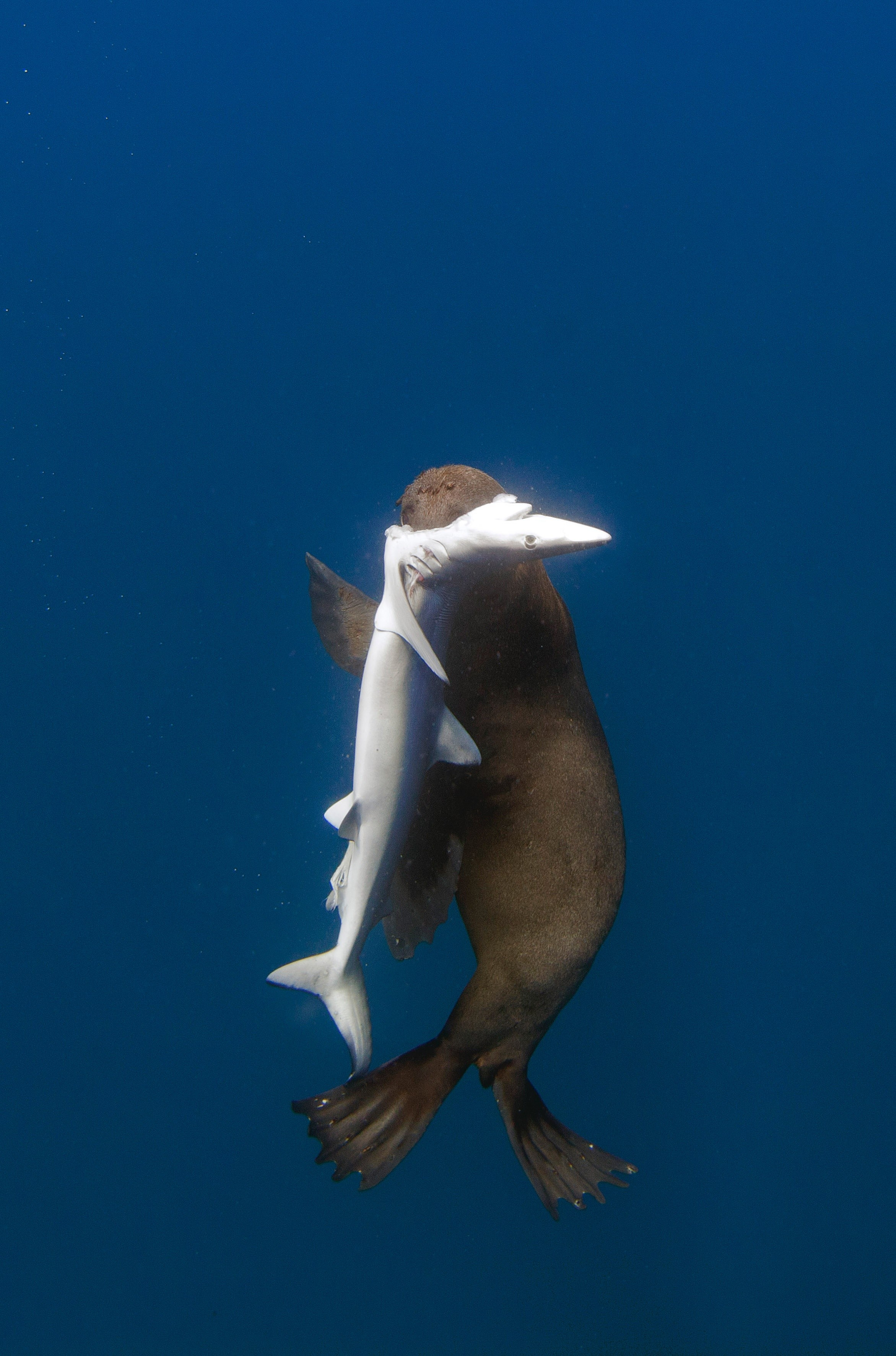 seal eats shark