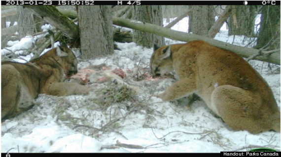 cougars banff deer