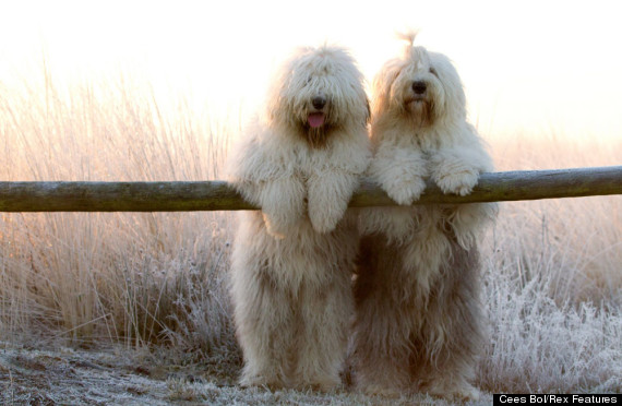 cute sheepdogs